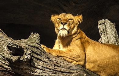 whipsnade solar lion